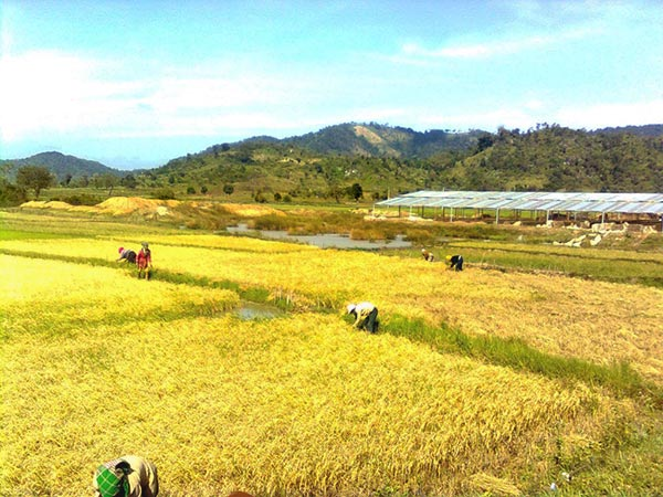 Rice Field In Vietnam